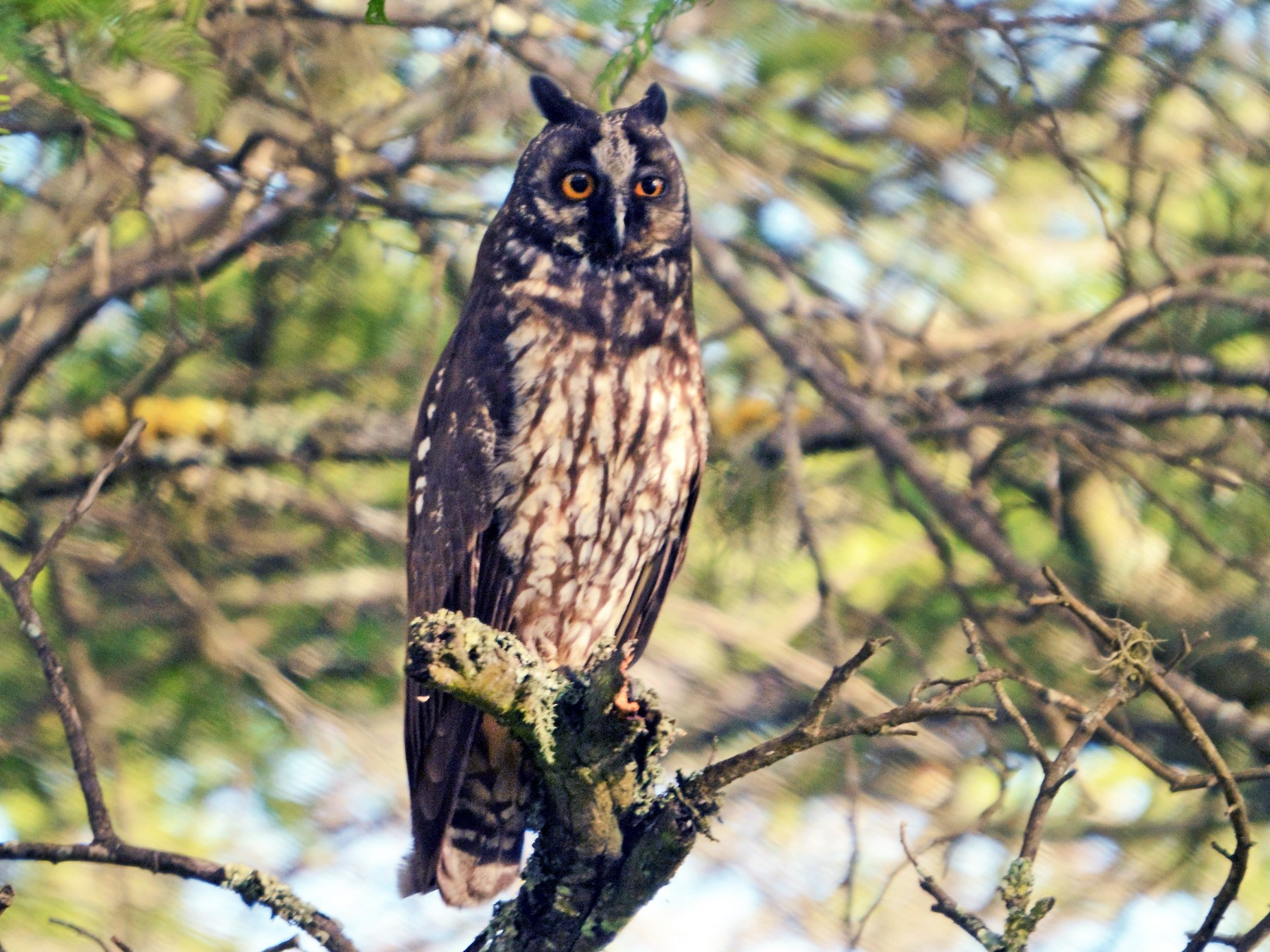 Stygian Owl - Xavier Amigo