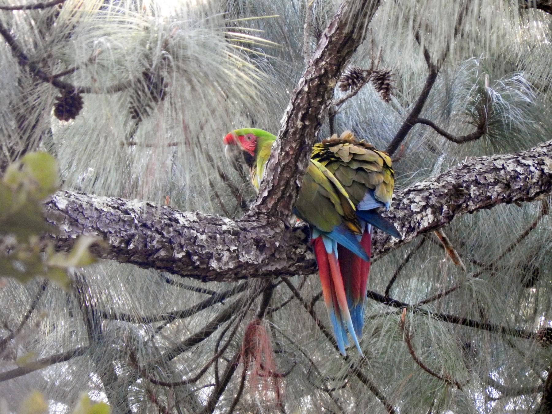 Military Macaw - Cole Gaerber