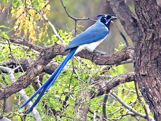 - Black-throated Magpie-Jay