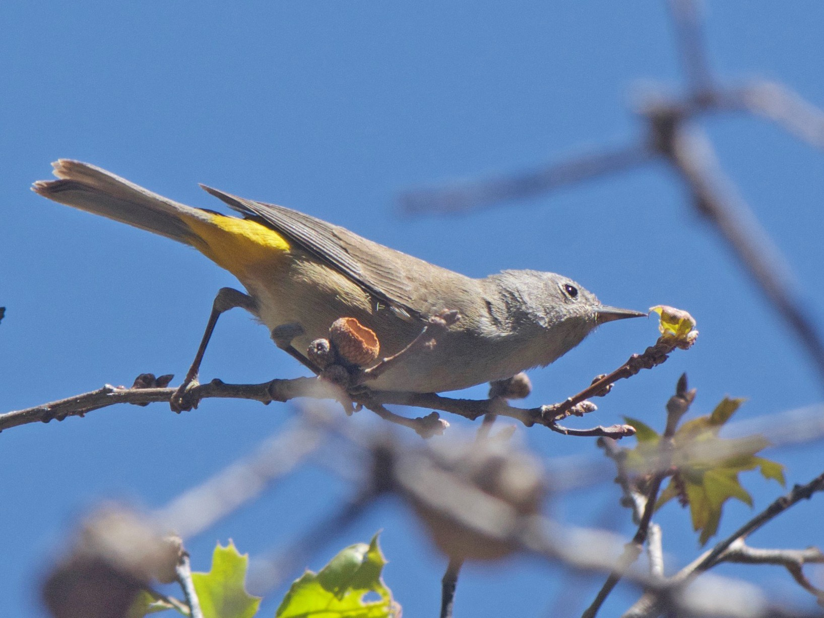Colima Warbler - Cory Gregory