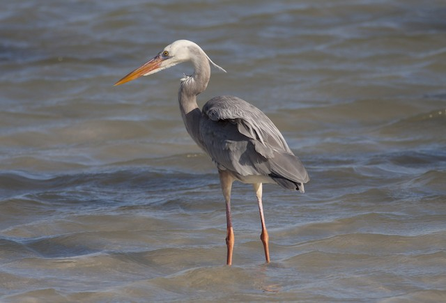 Great Blue Heron (Wurdemann's)