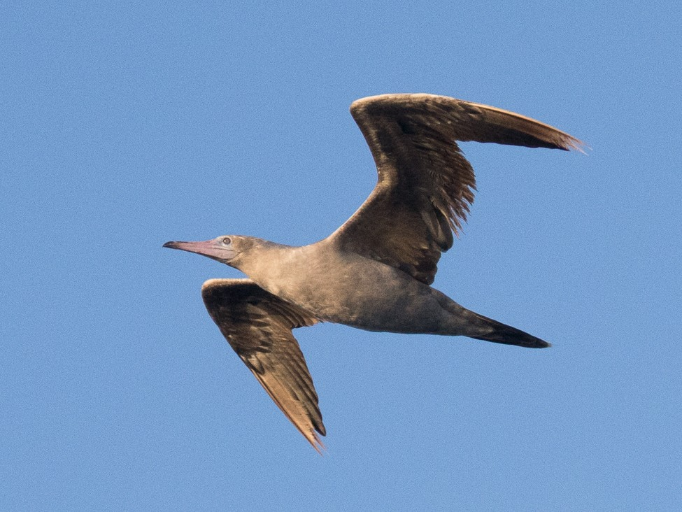 Red-footed Booby - Ken Chamberlain