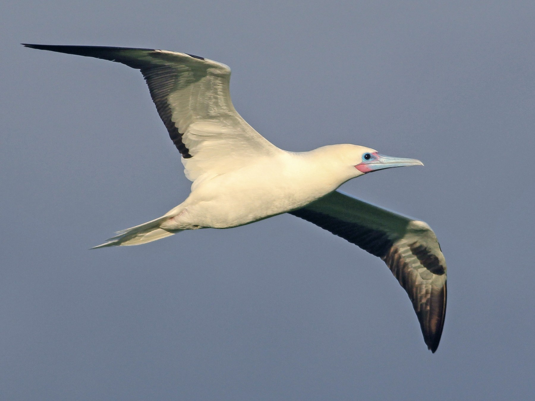 Red-footed Booby - Cameron Rutt
