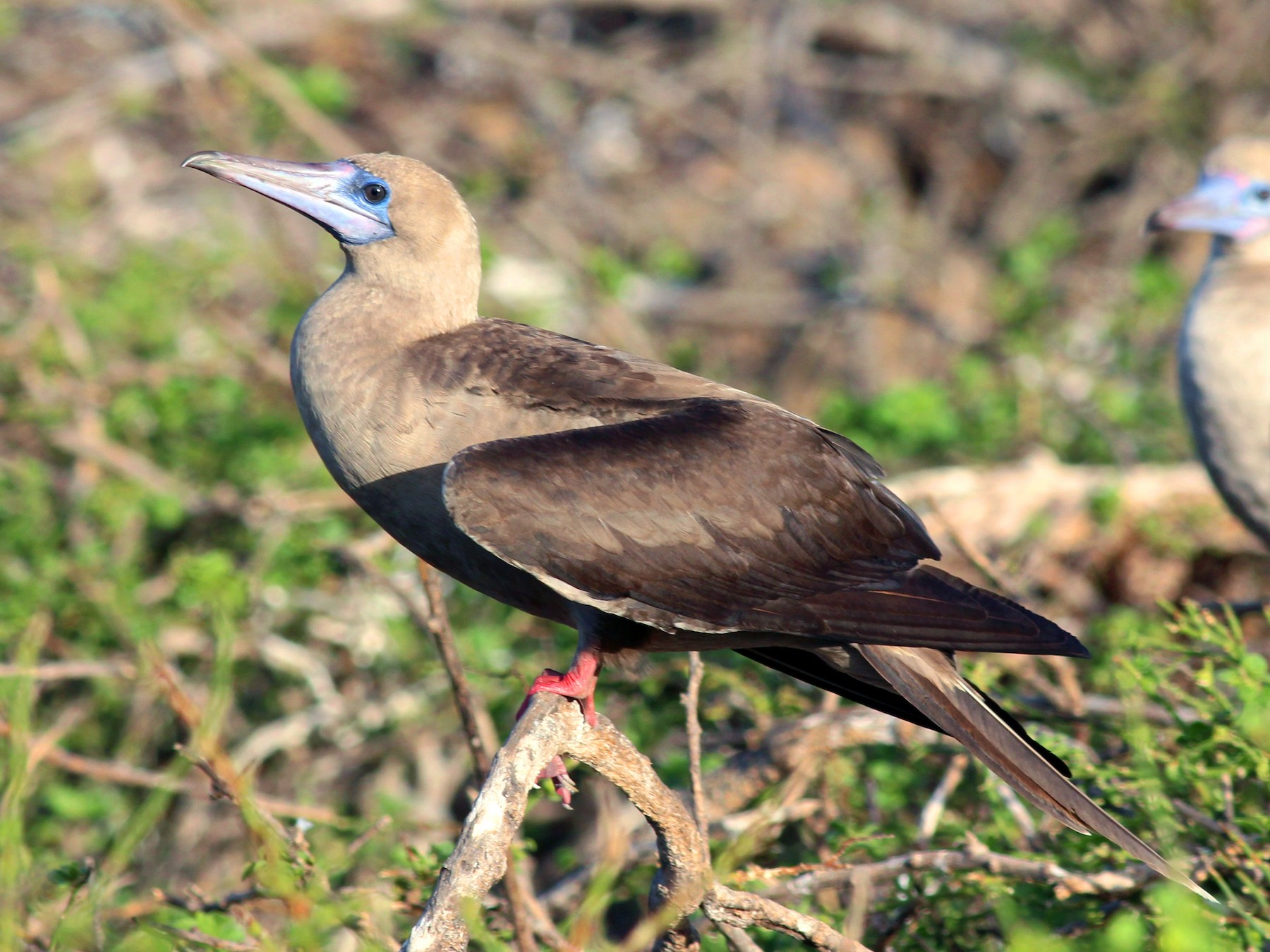 Red-footed Booby - Shawn Billerman