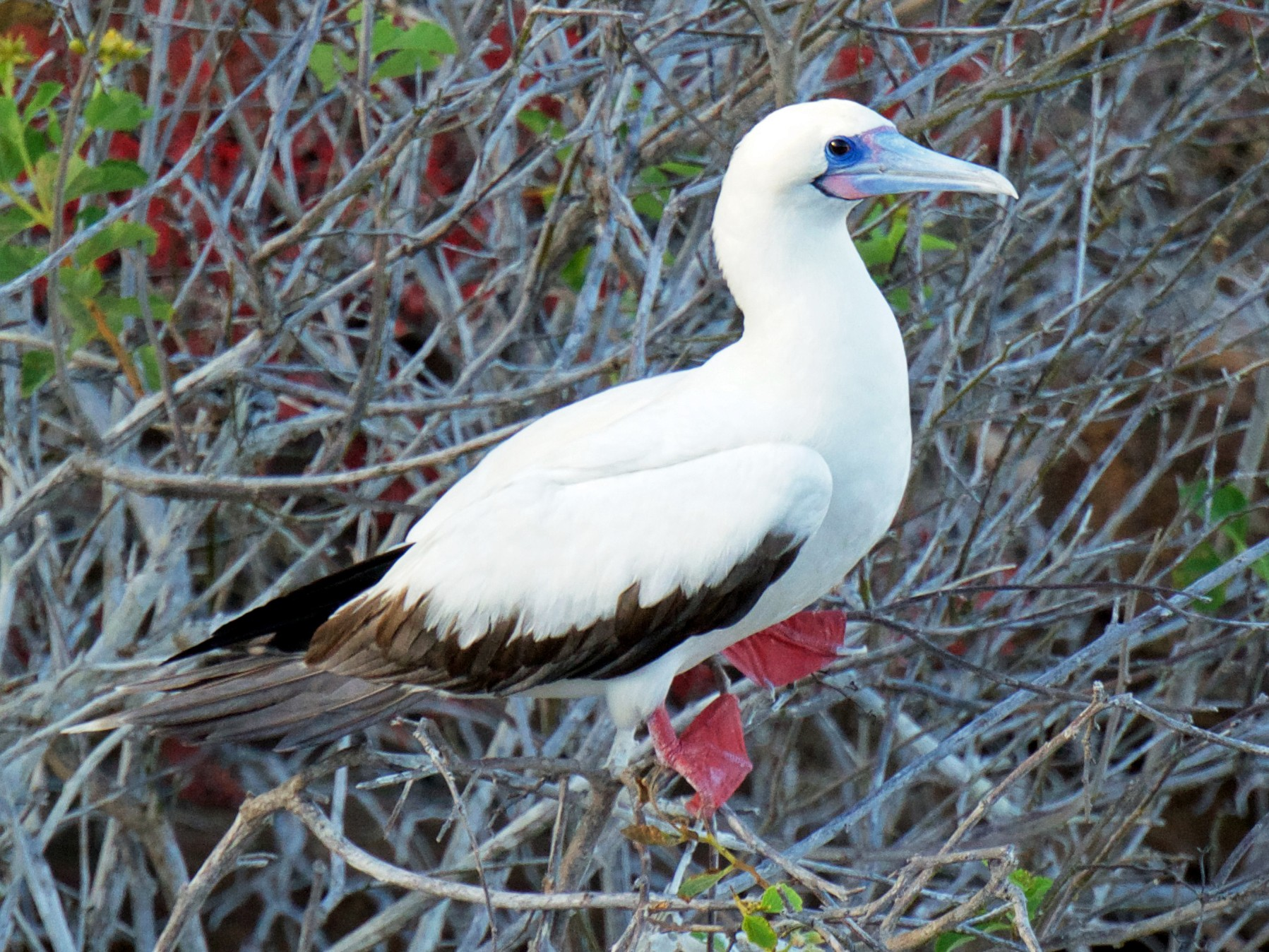 Red-footed Booby - Marilyn Henry
