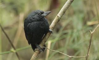 - Recurve-billed Bushbird