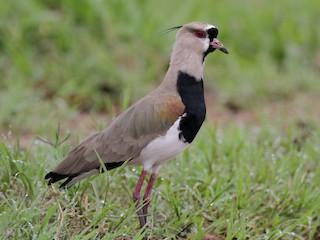 - Southern Lapwing (cayennensis)
