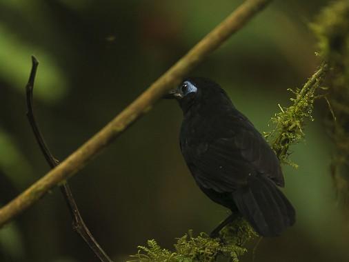 Zeledon's Antbird - José Ardaiz Ganuza