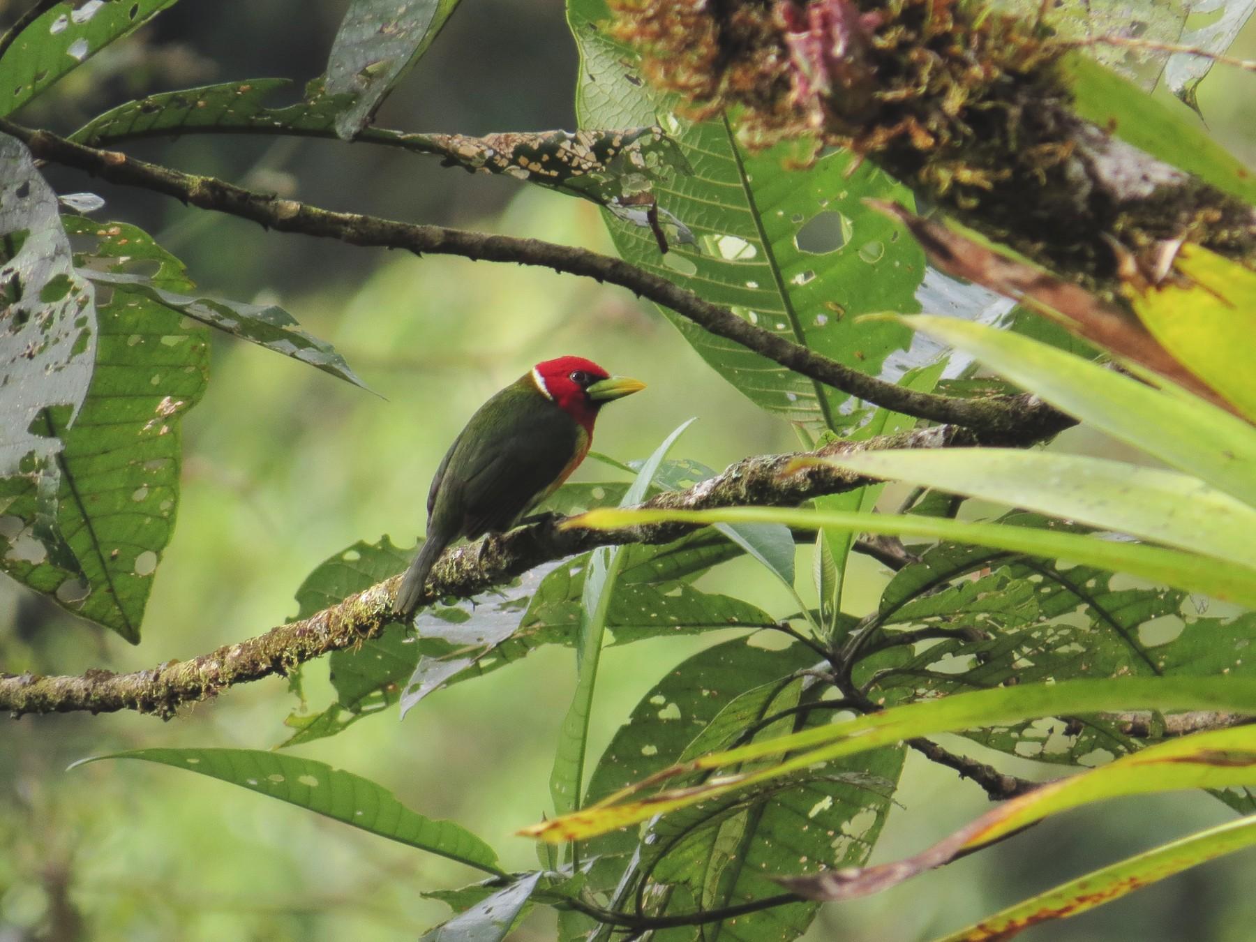 Red-headed Barbet - Jorge Muñoz García   CAQUETA BIRDING