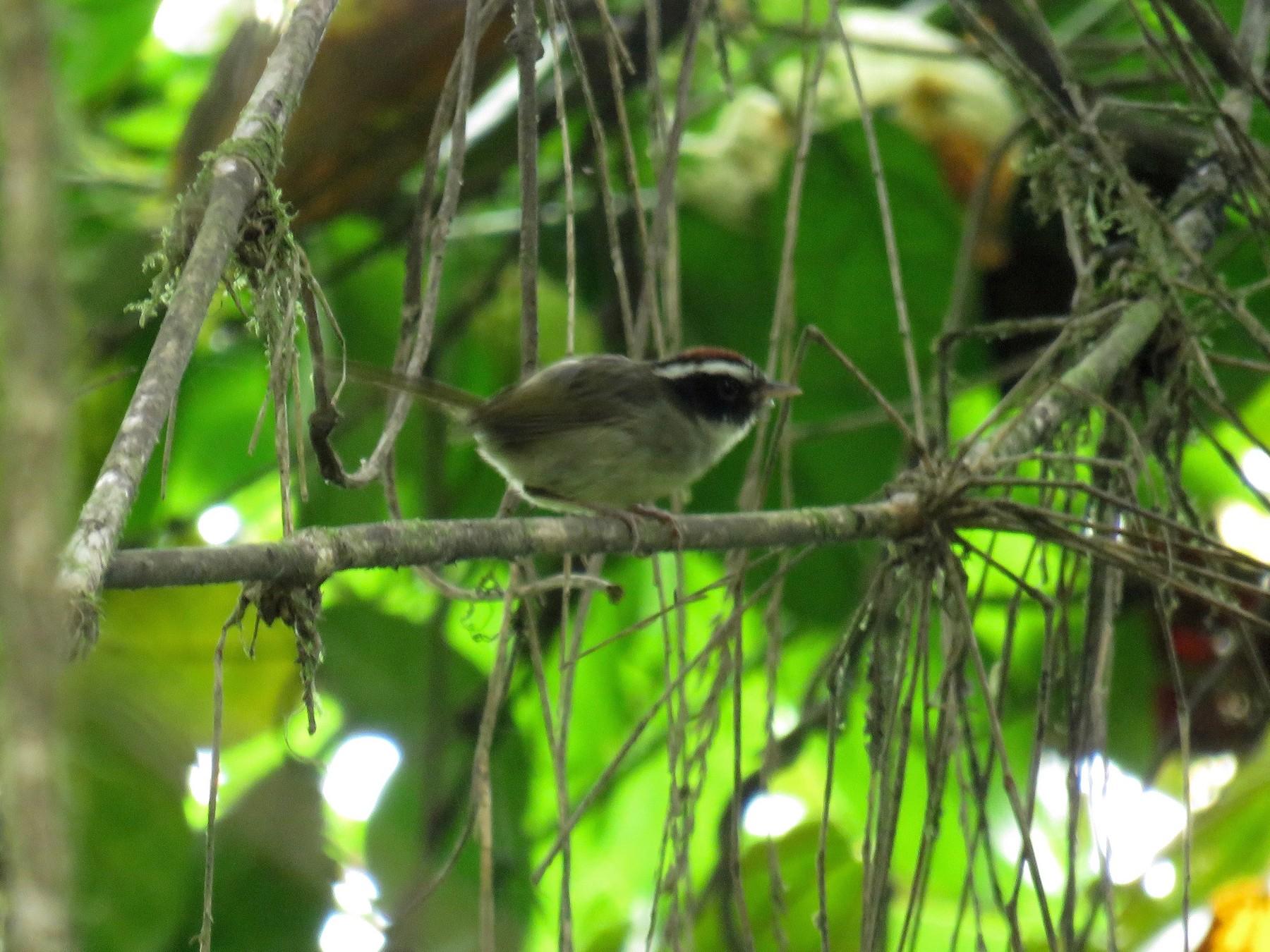 Black-cheeked Warbler - John van Dort