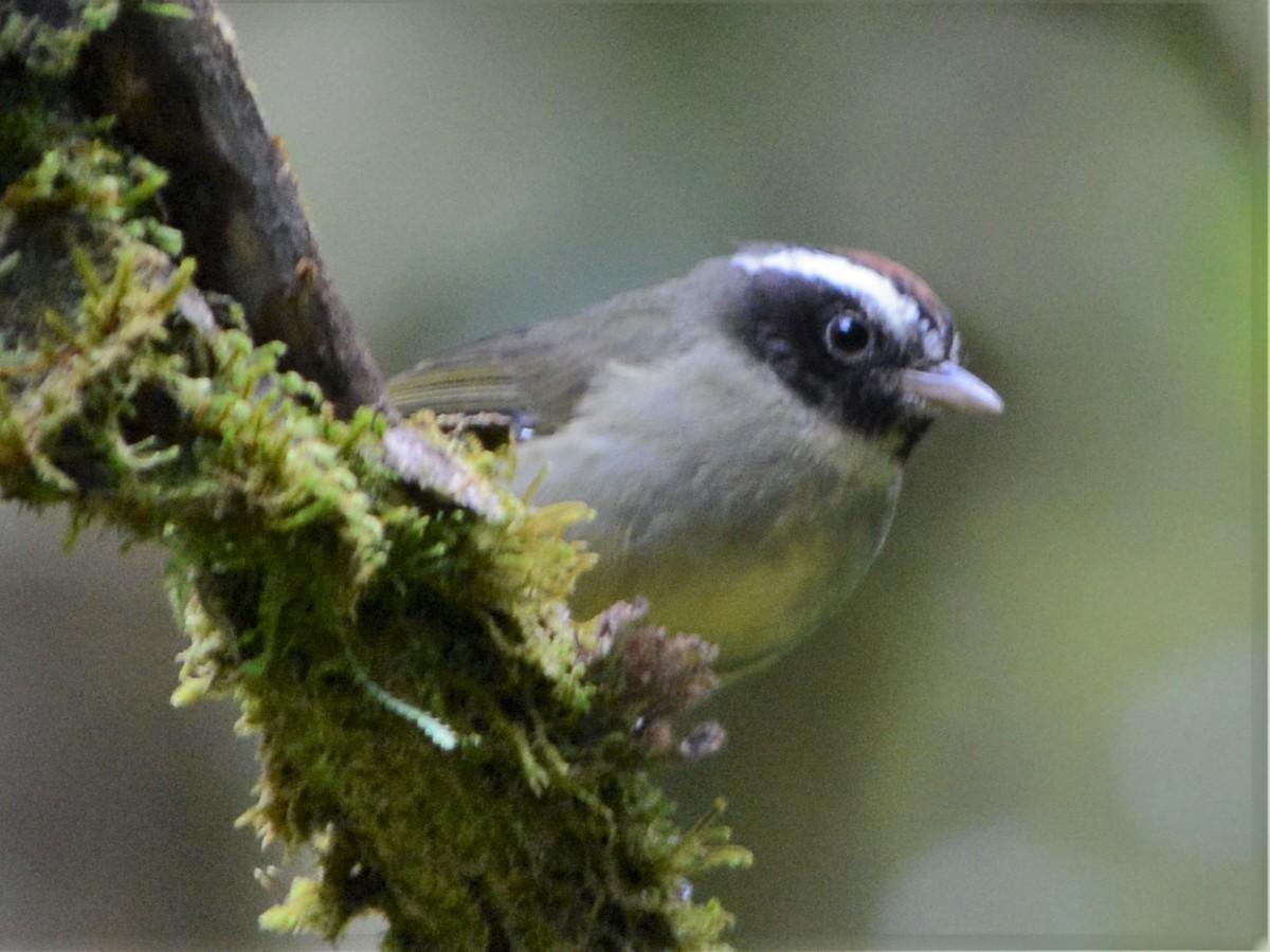 Black-cheeked Warbler - David Hollie
