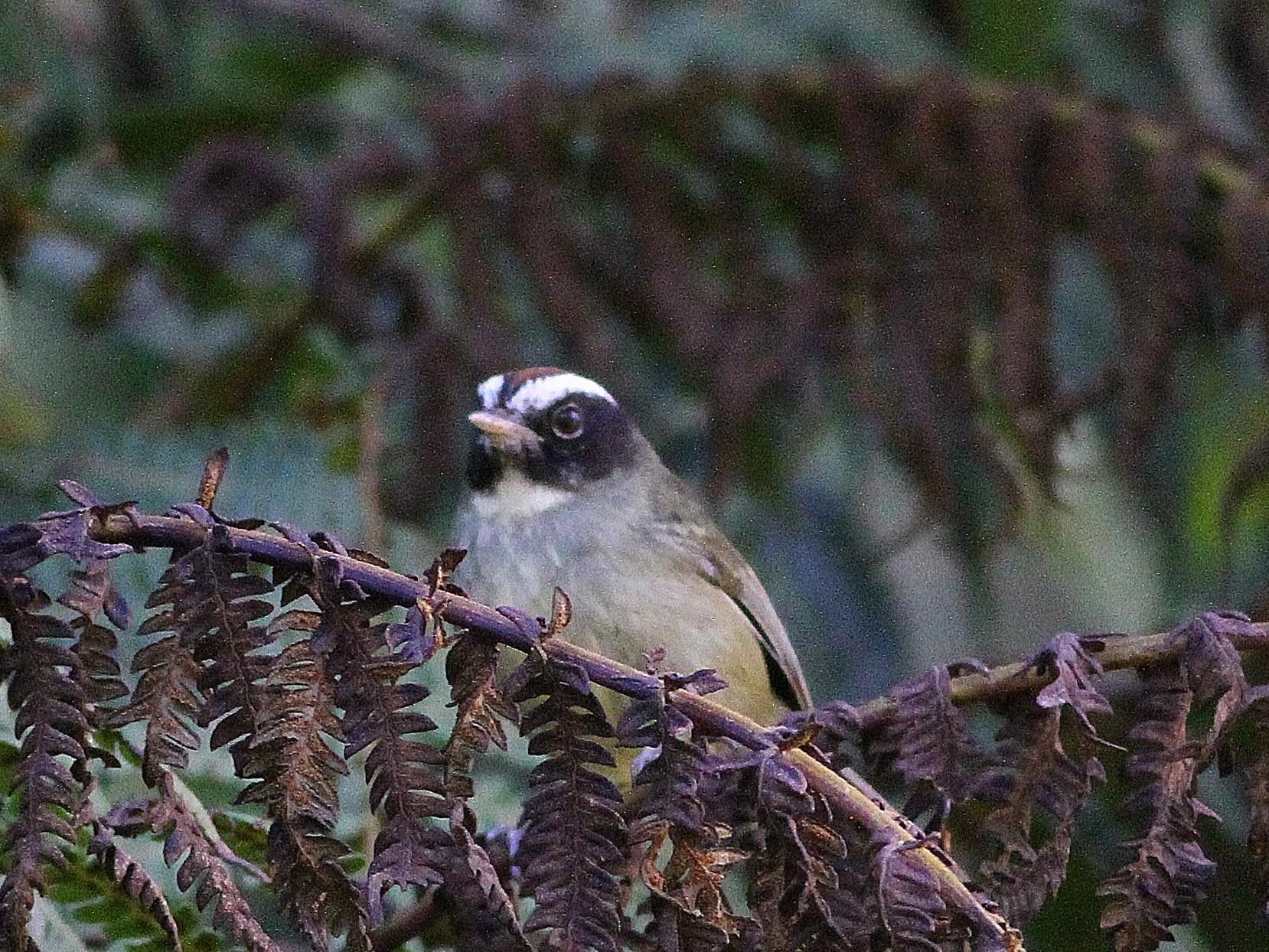 Black-cheeked Warbler - Ron Furnish