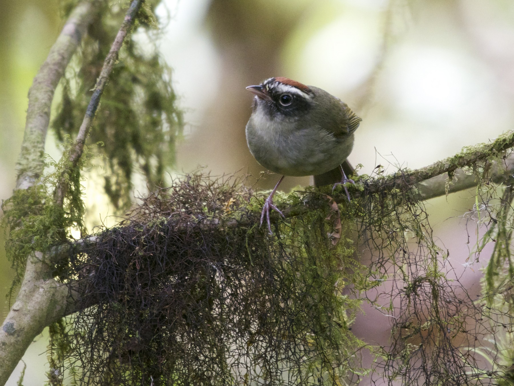 Black-cheeked Warbler - Jan Cubilla