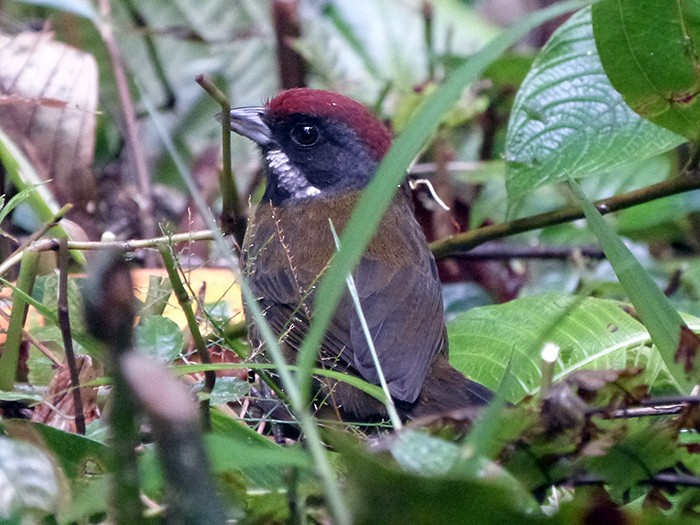 Sooty-faced Finch - Euclides