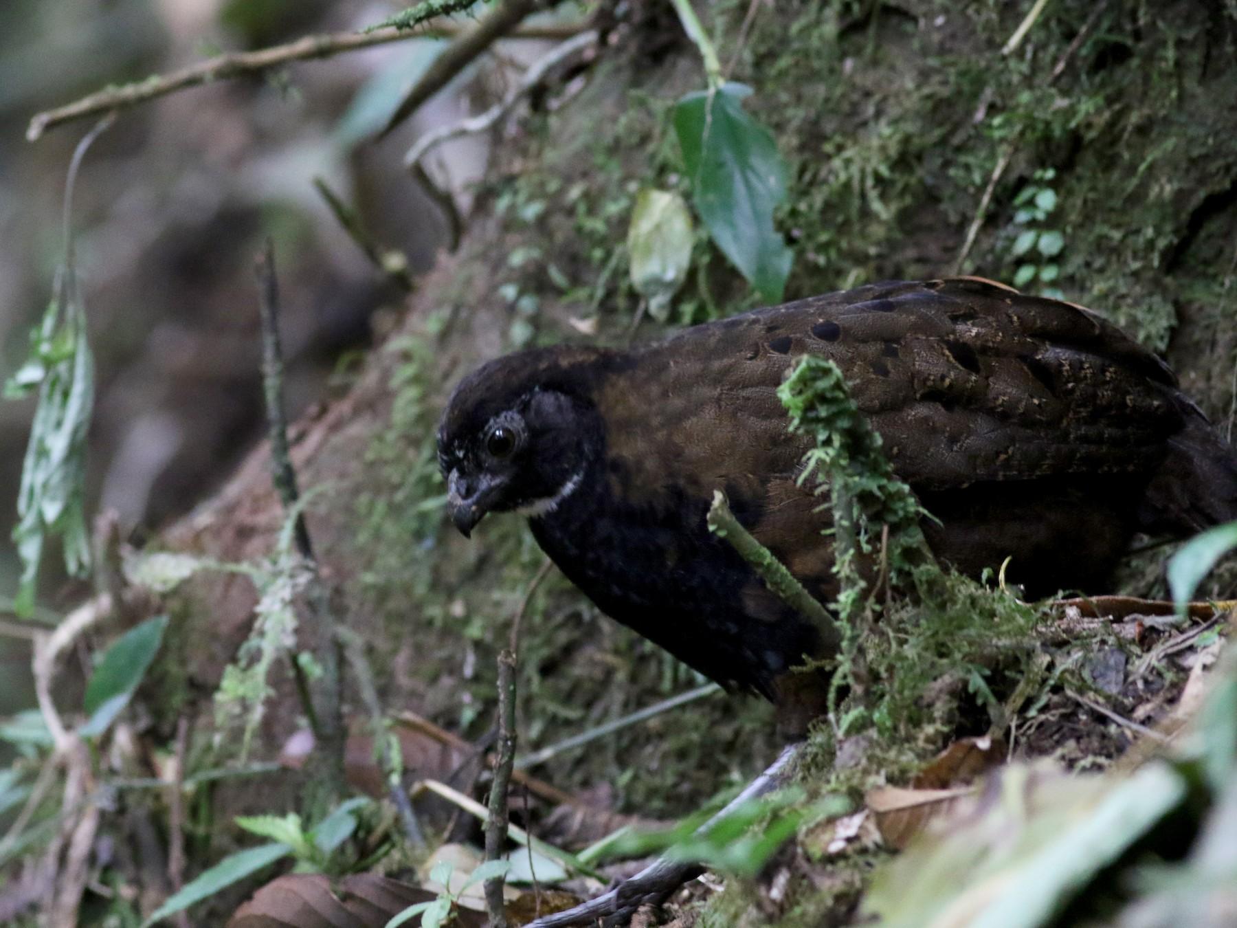 Black-breasted Wood-Quail - Jay McGowan