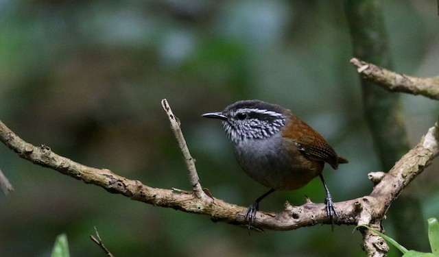 Gray-breasted Wood-Wren (Central American)