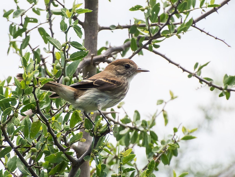 Bran-colored Flycatcher - Gerardo Serra