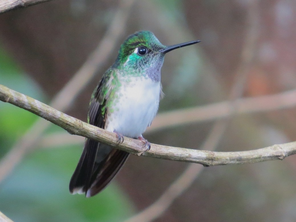 White-bellied Mountain-gem - Cory