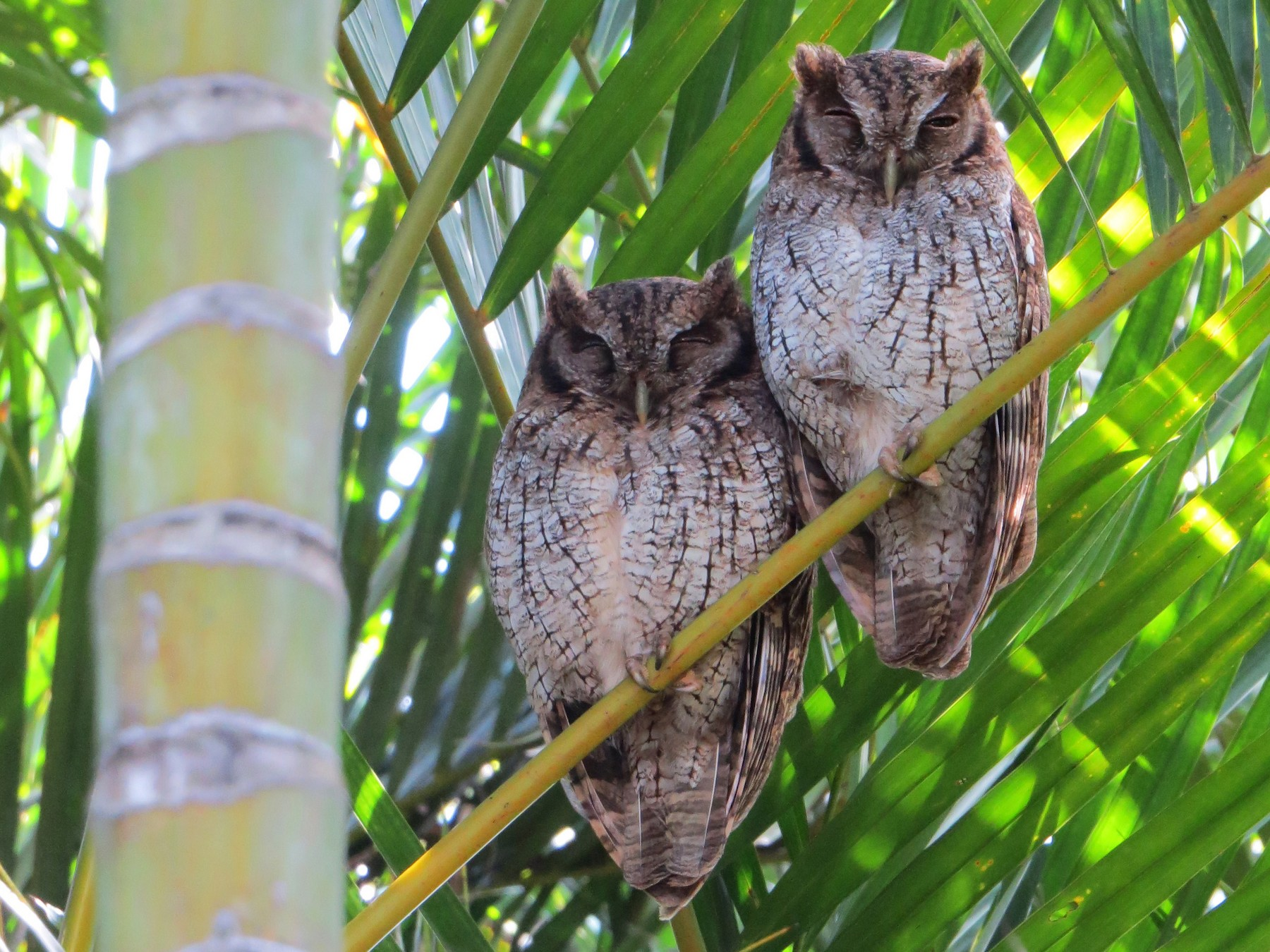 Tropical Screech-Owl - Karen Wosilait