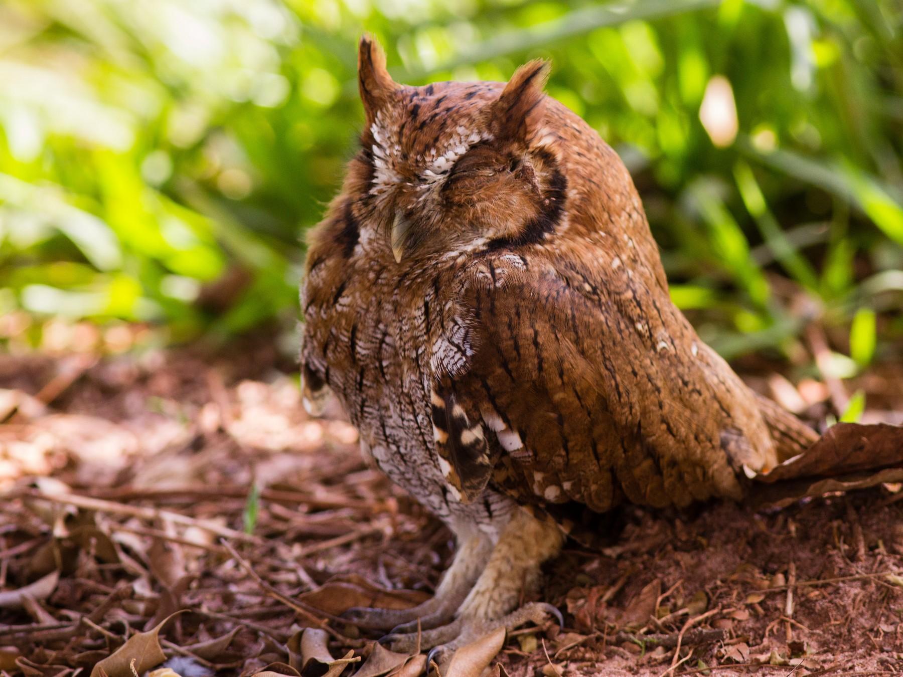 Tropical Screech-Owl - Lino Tateoka