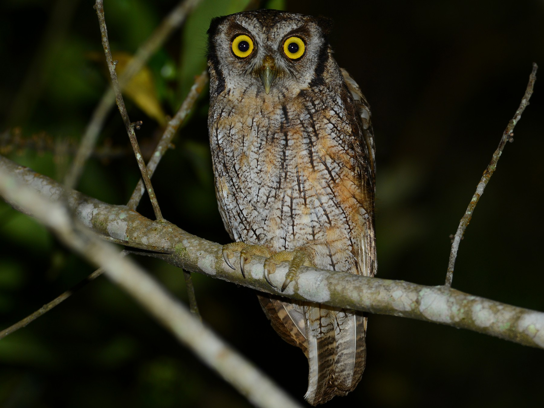 Tropical Screech-Owl - Alan Van Norman