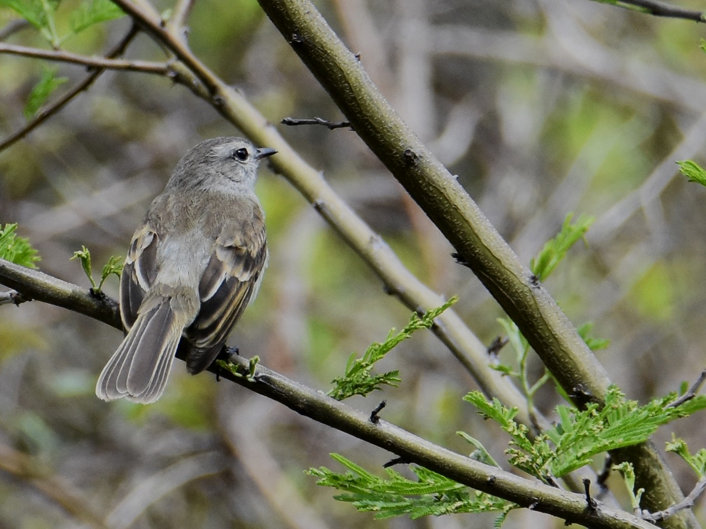 Mouse-colored Tyrannulet - Suzette Stitely