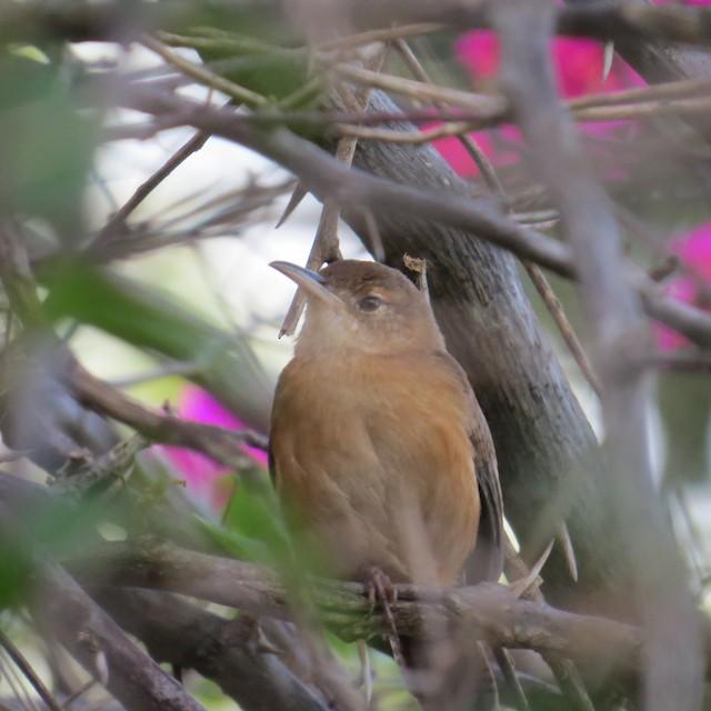 House Wren (Grenada)