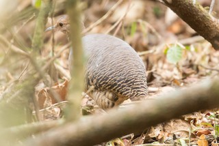 Thicket Tinamou