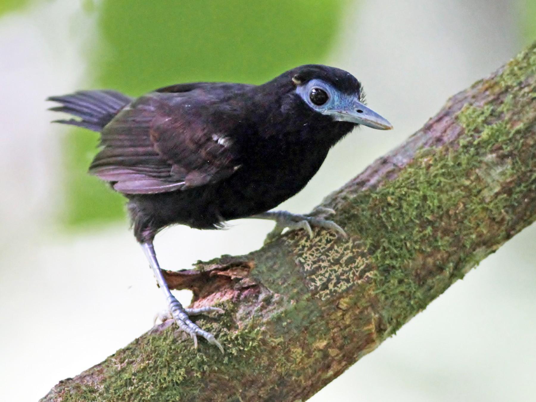 Bare-crowned Antbird - Alex Lamoreaux