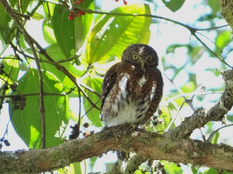 Costa Rican Pygmy-Owl - Mark w11 Kulstad