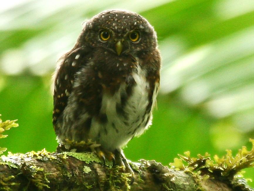 Costa Rican Pygmy-Owl - Michael Woodruff