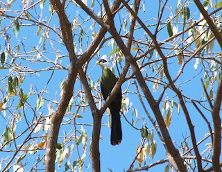 - White-crested Turaco
