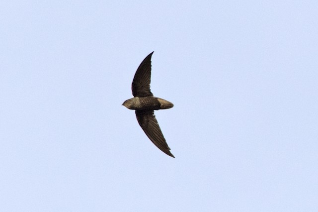 Short-tailed Swift