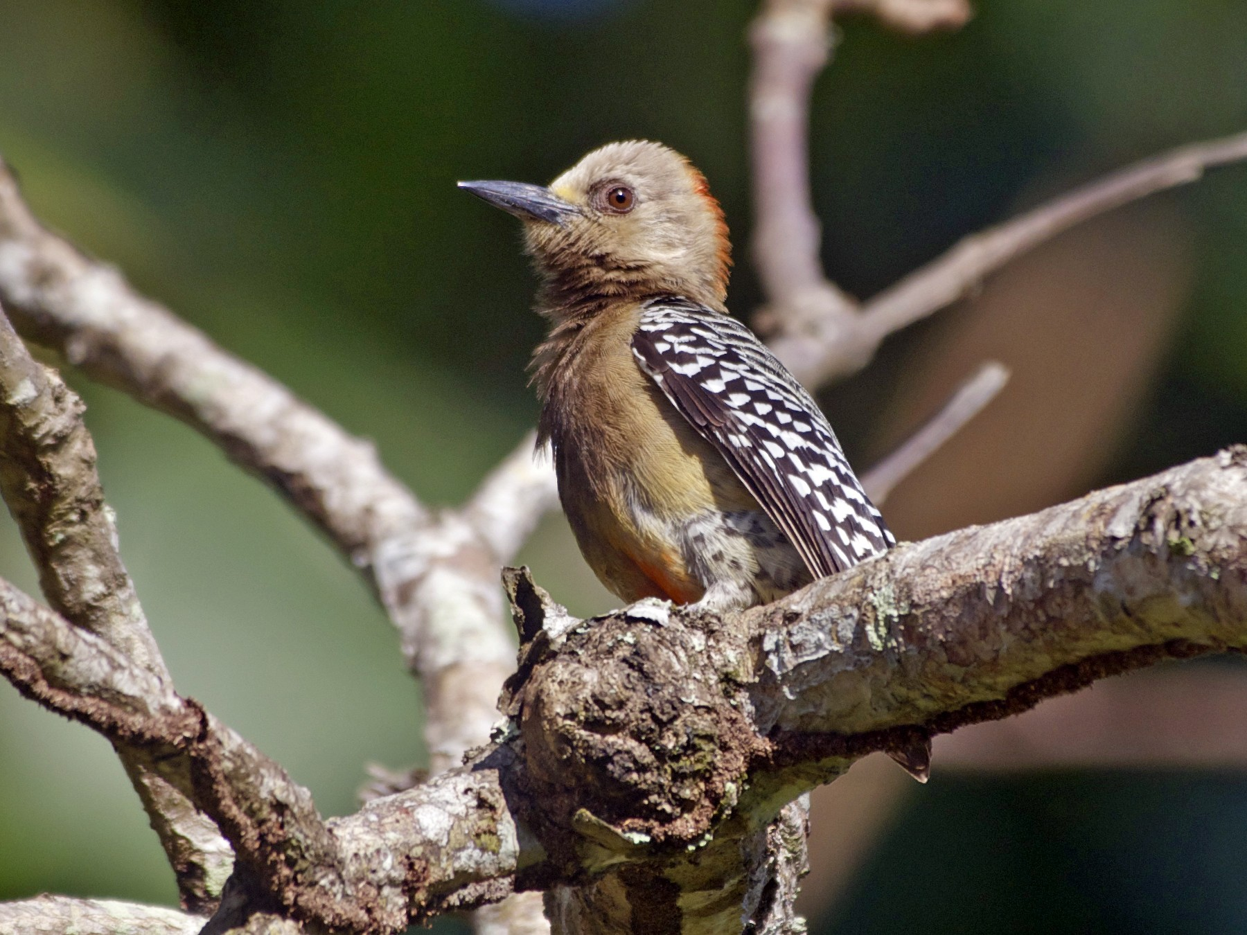 Red-crowned Woodpecker - Jan Cubilla
