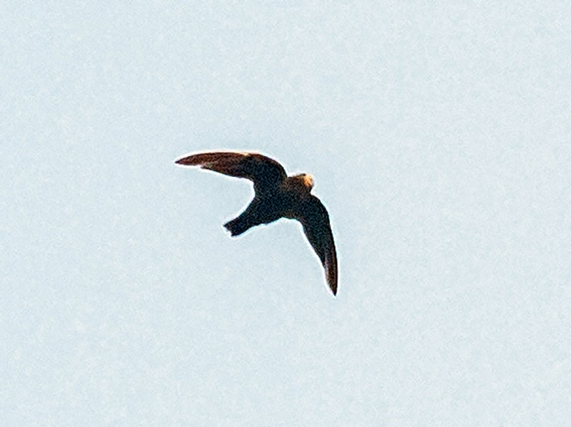 White-chinned Swift - Jesse Huth