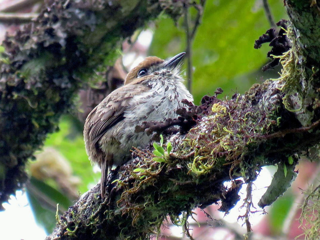 Lanceolated Monklet - Adrian Antunez