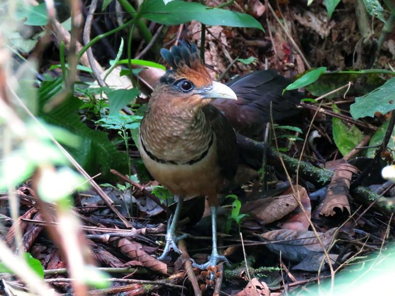 Rufous-vented Ground-Cuckoo - Angel Solis