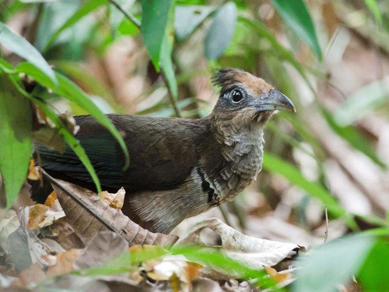 Rufous-vented Ground-Cuckoo - Anonymous eBirder