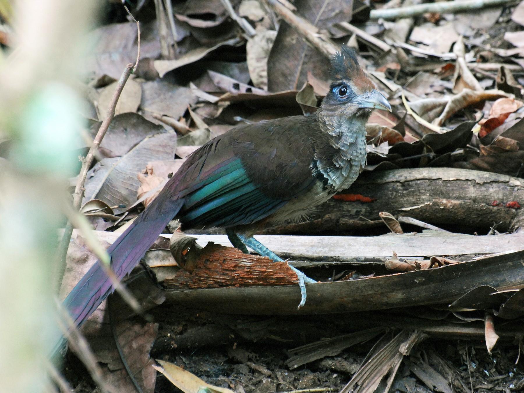Rufous-vented Ground-Cuckoo - David M. Bell