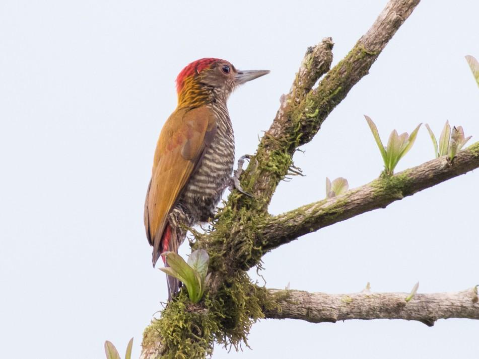 Red-rumped Woodpecker - Tom Johnson