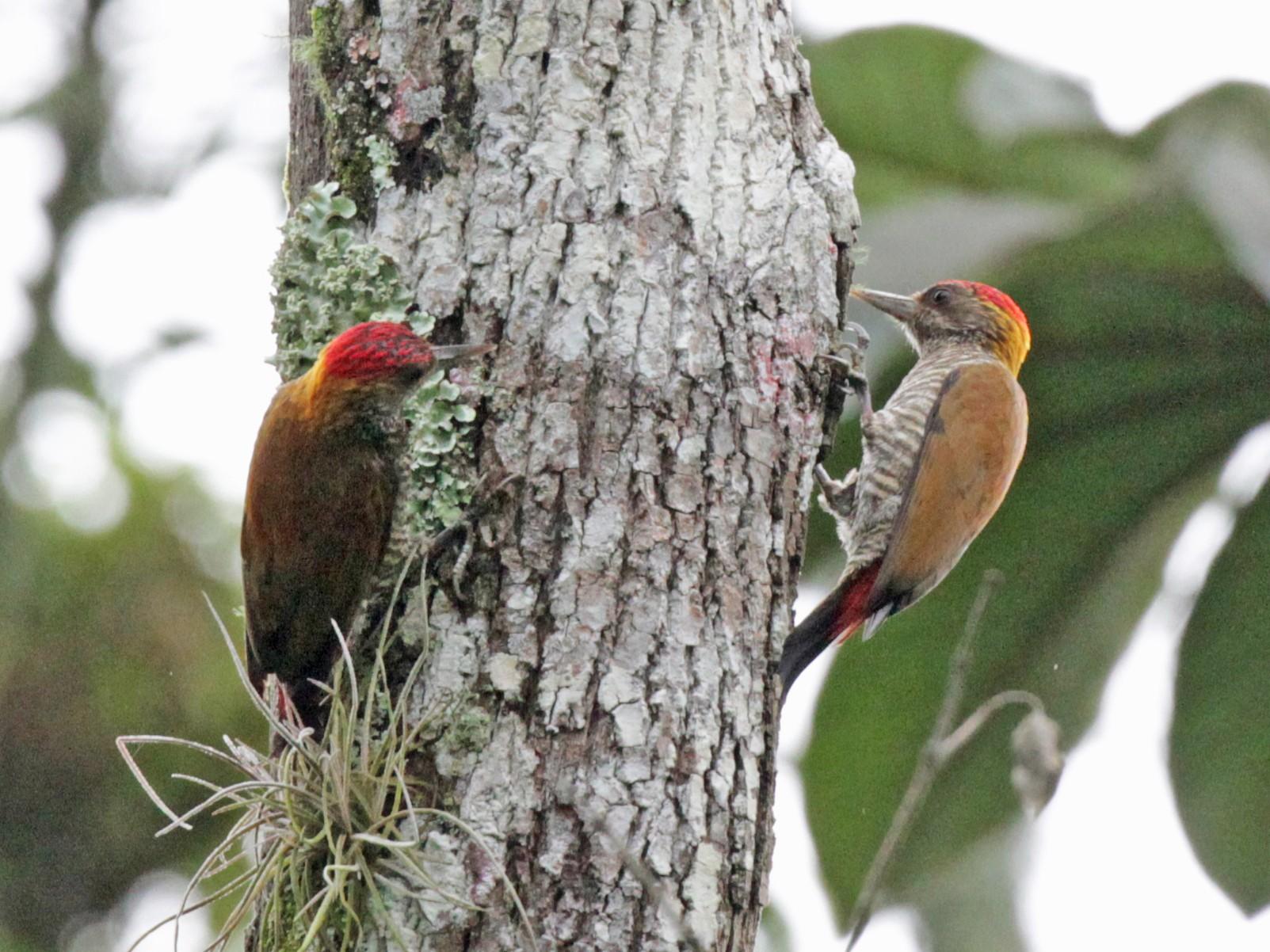Red-rumped Woodpecker - Doug Korver