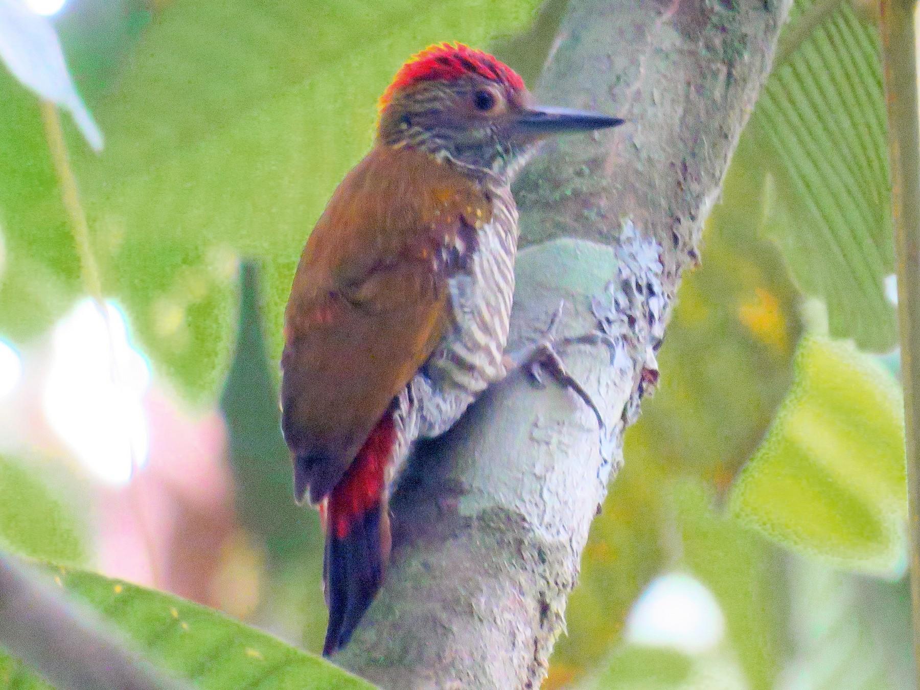 Red-rumped Woodpecker - Matt Kelly