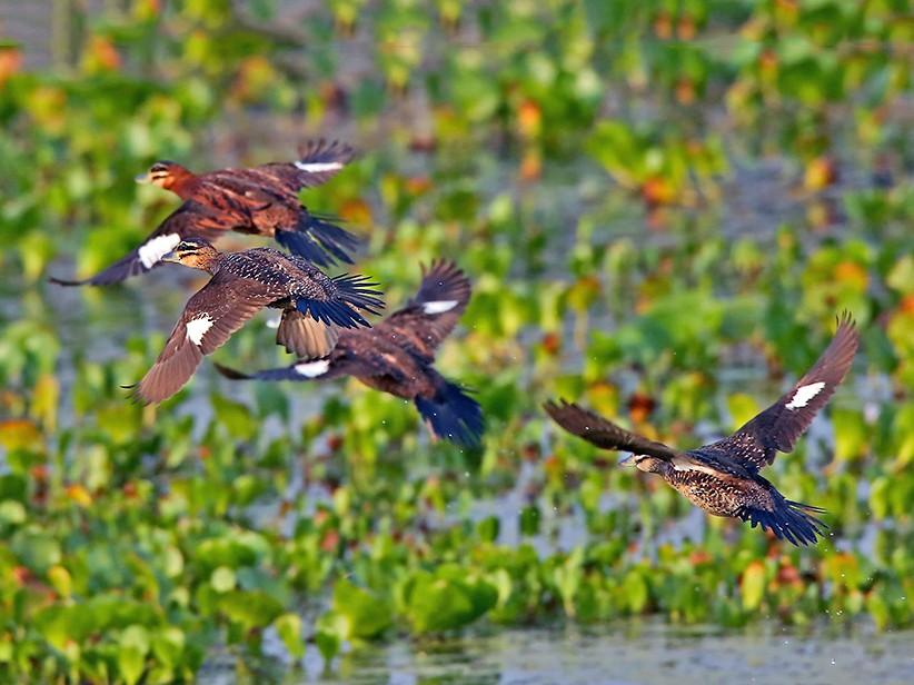 Masked Duck - Roger Ahlman