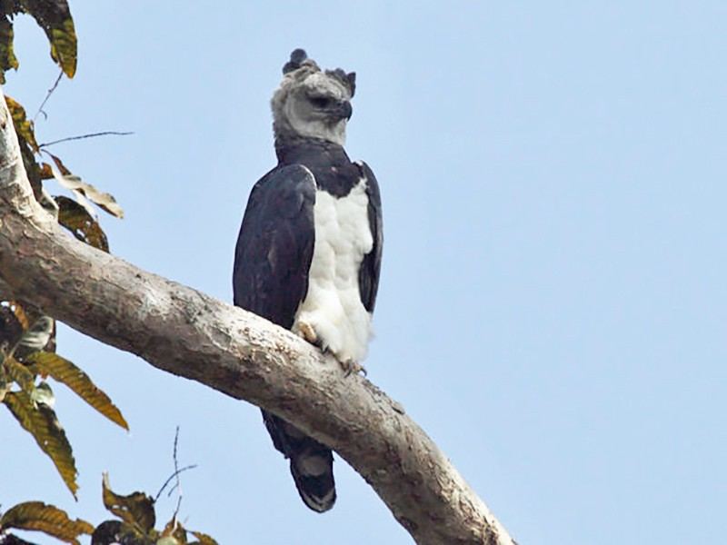 Harpy Eagle - Tom Murray