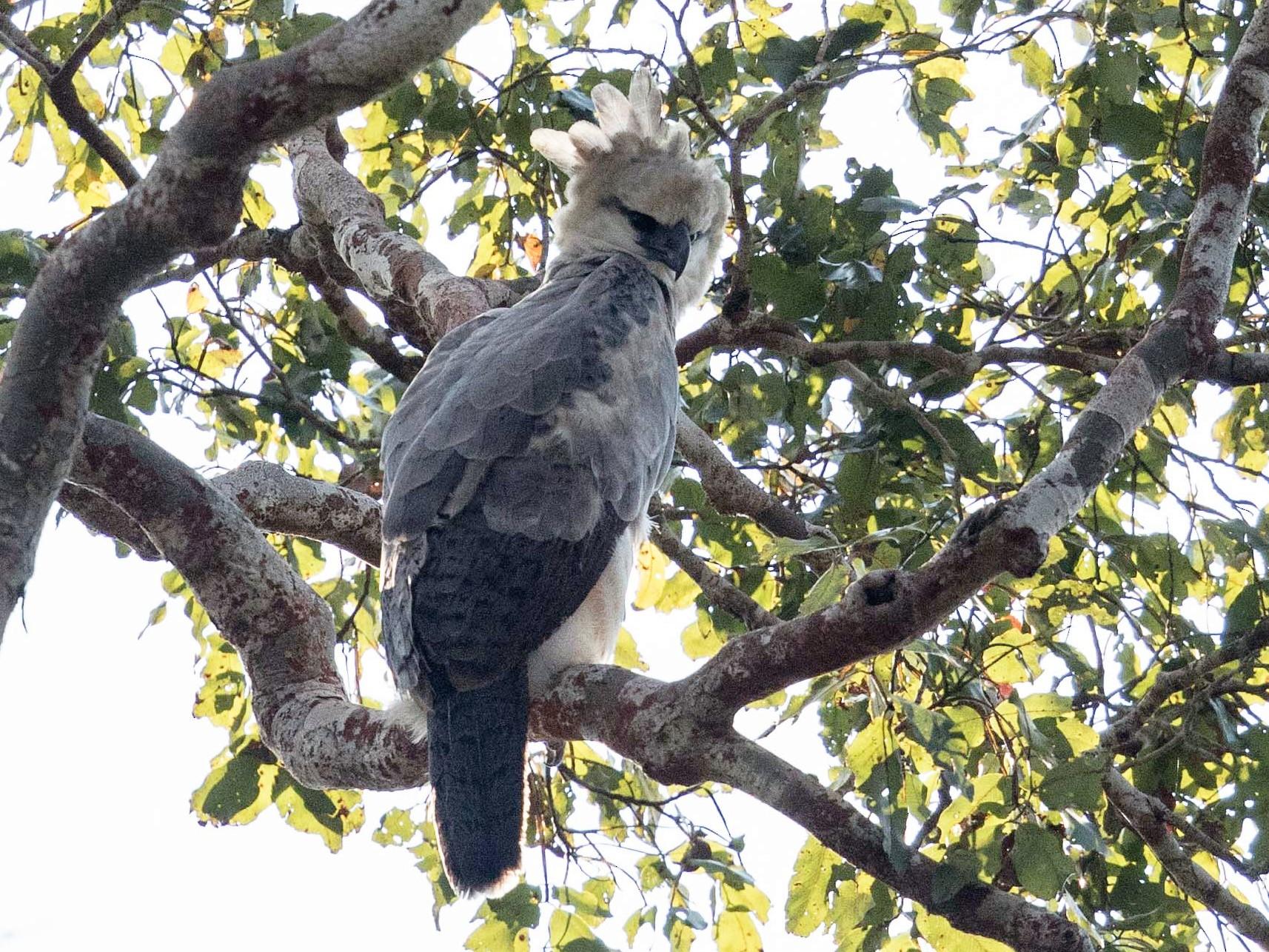 Harpy Eagle - Eric VanderWerf