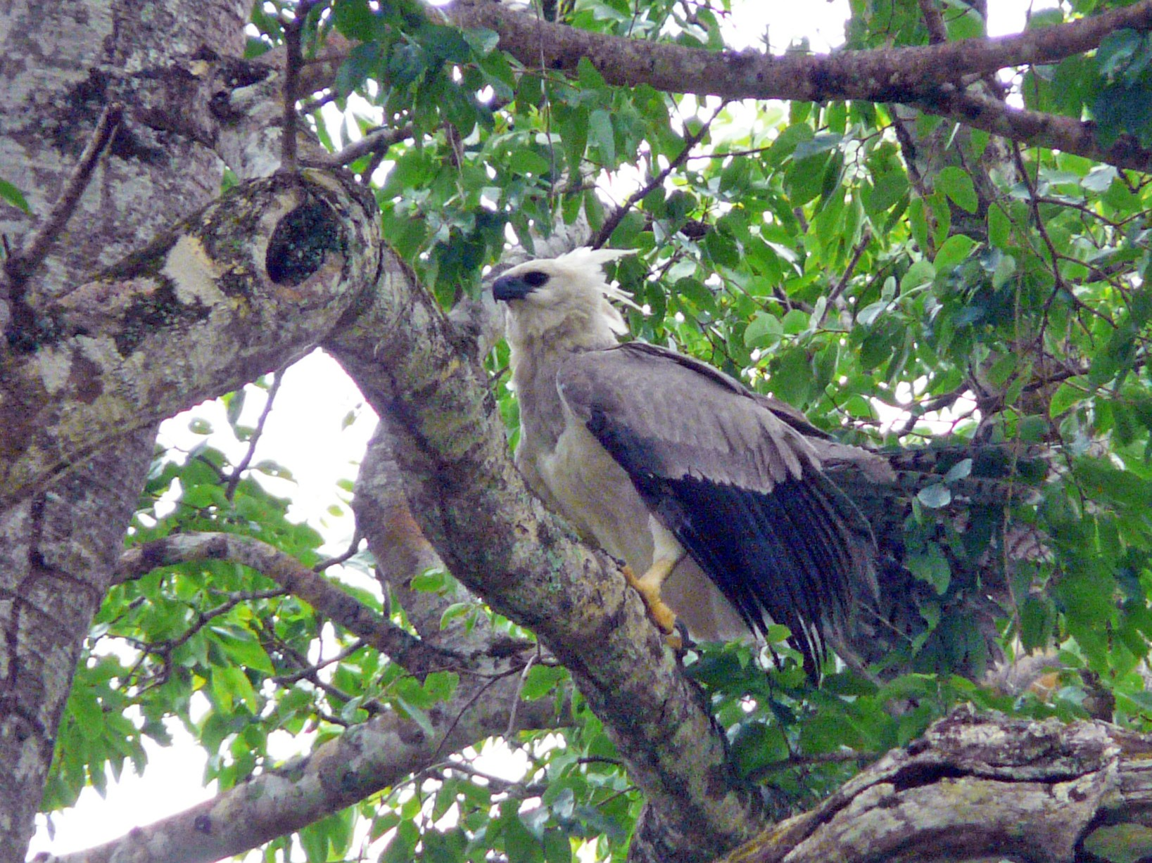 Harpy Eagle - Bill Crins