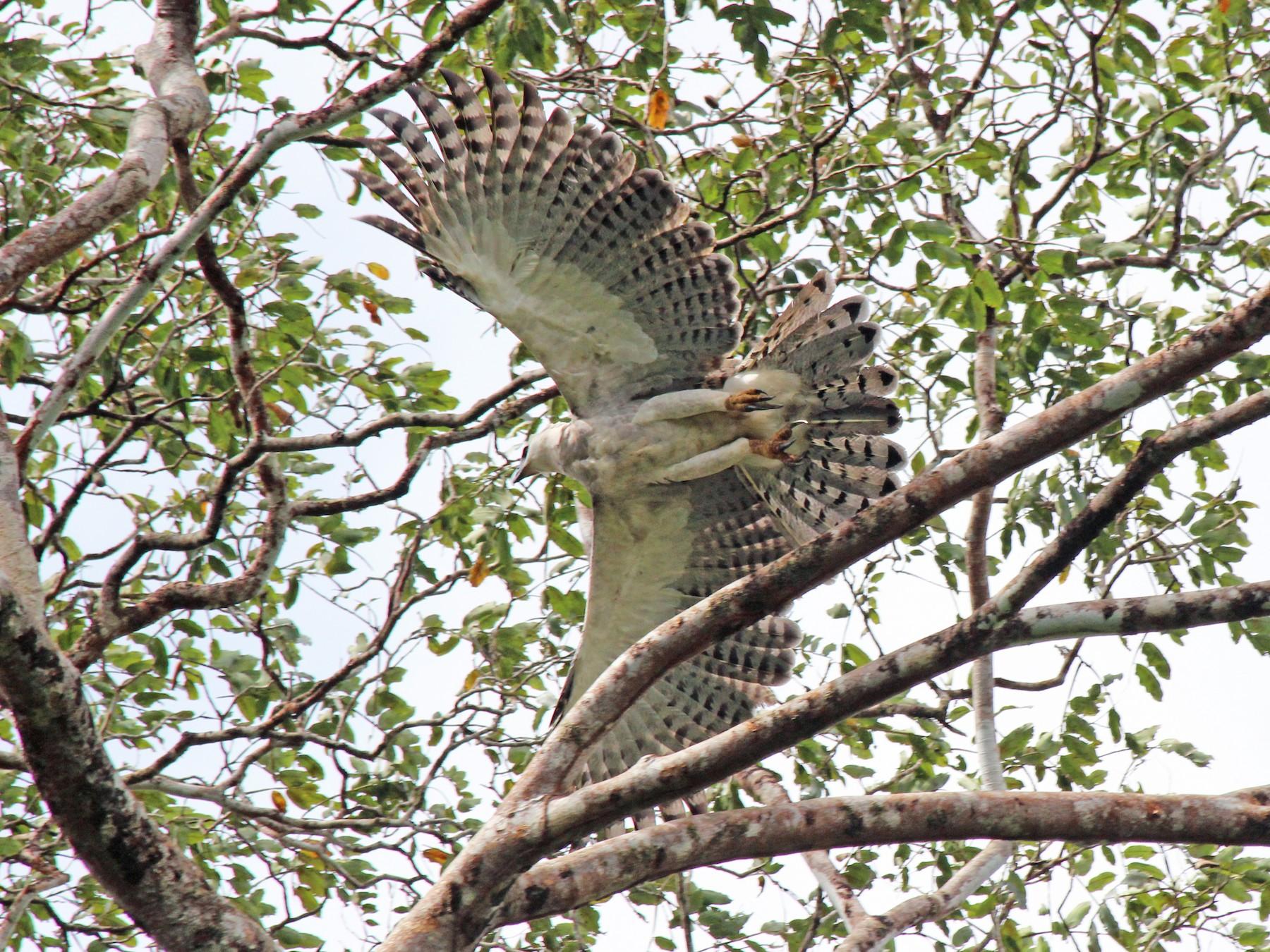 Harpy Eagle - Elliott Whitby