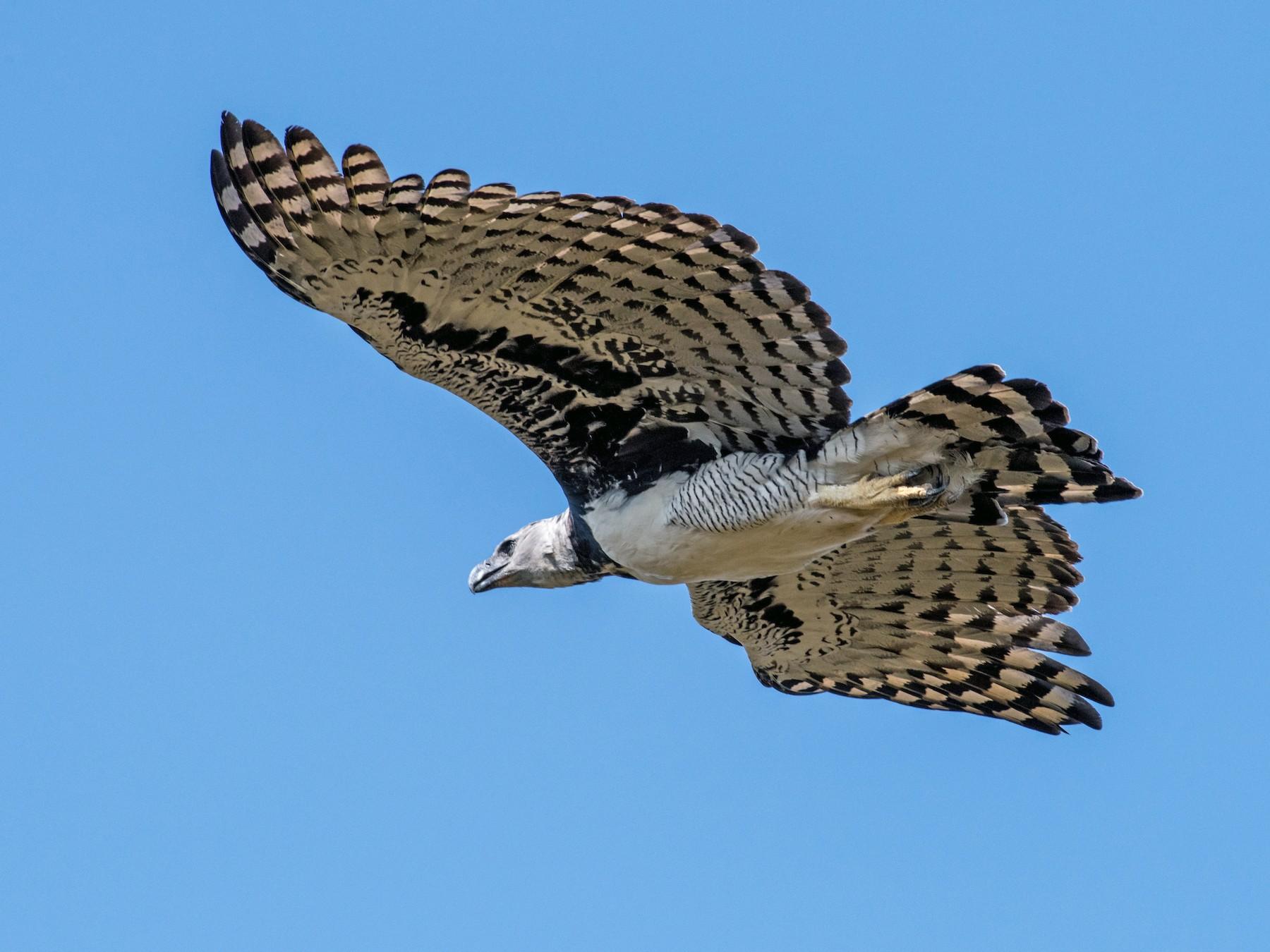 Harpy Eagle - Hank Davis