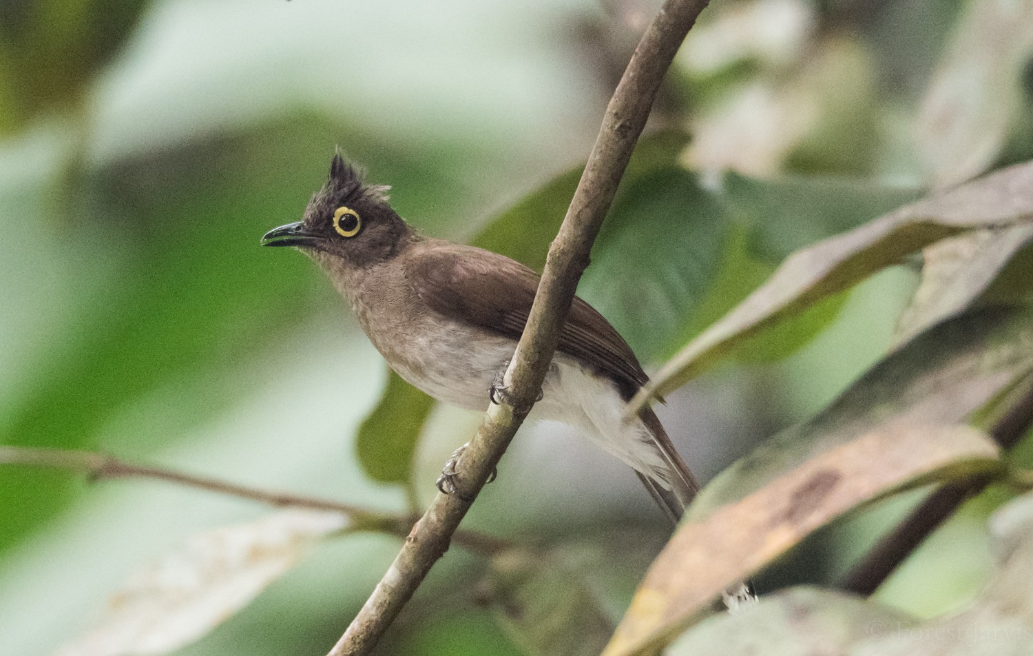 Yellow-wattled Bulbul - Forest Jarvis