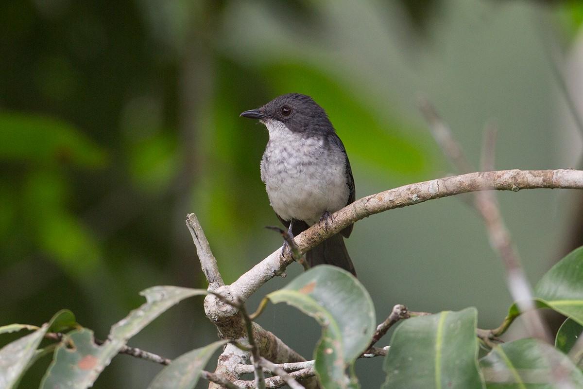 African Forest-Flycatcher - Tony Palliser